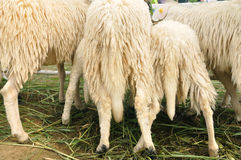 Many sheep 's bottoms that live in farm. Stock Photos
