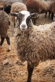 Many Sheep Royalty Free Stock Photography