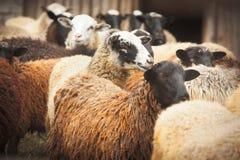 Many Sheep Stock Photos