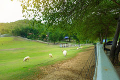 Many sheep with a sunshine royalty free stock image