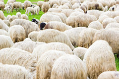 Many sheeps on field Stock Image