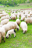 Many sheeps on field Stock Photo