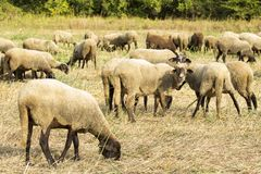 Many sheeps Royalty Free Stock Images