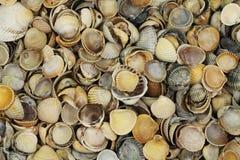 many shell seashells  background Stock Image