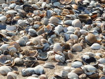 Many shells on the beach. Many shells blue white and brown colours  on the beach in the sand on a summerday Stock Photo