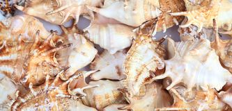 Many shells of rapana. Close-up. Background. Royalty Free Stock Images