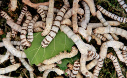 Many silkworms eating mulberry leaves Stock Photos