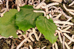 Many silkworms eating mulberry leaves Royalty Free Stock Photo