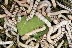 Many silkworms eating mulberry leaves Royalty Free Stock Image