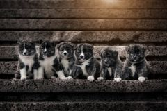 Many six bkack marble Akita puppies with sun royalty free stock photos