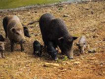 Many sizes of pigs. Pigs in Sapa with different sizes Stock Photography