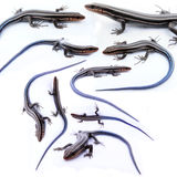 Many skinks isolated Stock Photos