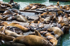 Many Sleeping Seals Royalty Free Stock Photo