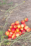 Many small apples Royalty Free Stock Images