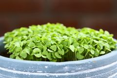 Basil Seedlings in Pot. Many small basil seedlings in pot Selective Focus, Focus on the first plants Royalty Free Stock Photos