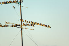 Many small birds sitting on wires Stock Photography