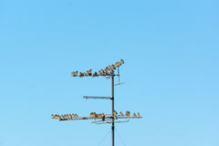 Many small birds sitting on wires Royalty Free Stock Images