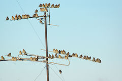Many small birds sitting on wires Stock Image