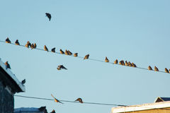 Many small birds sitting on wires Stock Photo