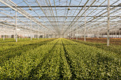 Many small chrysanthemum plants in a very big chrysanthemum nurs Stock Photo