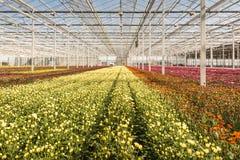 Many small chrysanthemum plants in a very big chrysanthemum nurs Royalty Free Stock Photography