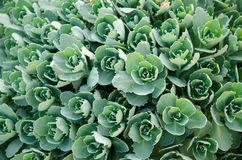 Many small clusters of succulent leaves Stock Photography
