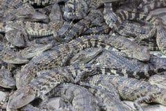 Many small crocodiles Stock Photo