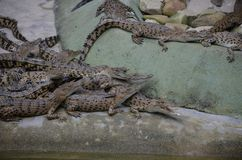 Many small crocodiles lie in a pile at the edge of water. Side view stock photo