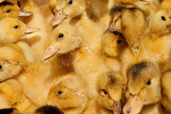 Many small domestic ducklings Royalty Free Stock Photo