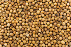 Many small dried coriander seed. Food spicery backgrounds Stock Images