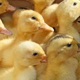 Many small ducklings Royalty Free Stock Photography