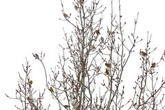 Many small European goldfinch perching on branches Royalty Free Stock Photos