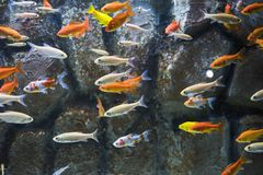 Many small fishes in aquarium. Abstract photo of underwater life Stock Images