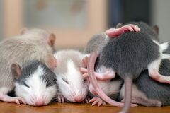 Free Many Small Funny Baby Rats Warming Together One On Top Of Another Royalty Free Stock Images - 213084909