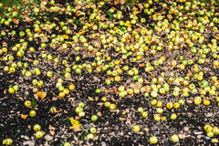 Many small green apples distributed on the ground Royalty Free Stock Images