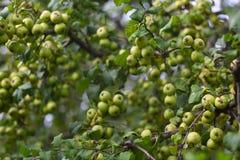 Many small green apples Stock Photos