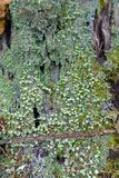 Many small green Cup Lichen and Devil`s Matchsticks lichen growi stock images