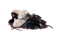 Many small infant rats Royalty Free Stock Photos