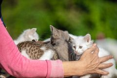 Many small kittens in the hands of a woman on blurred background. Many small kittens in the hands of a woman stock image