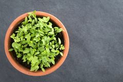 Parsley Seedlings in Pot. Many small parsley seedlings in pot, photographed overhead on slate Selective Focus, Focus on the tallest leaves Royalty Free Stock Images