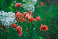 Many small poppies on the flowerbed. stock images