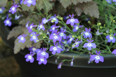 Many small purple flowers. Growing in a garden Stock Photography