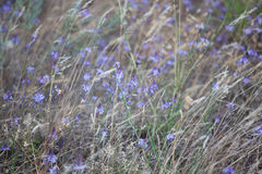 Many small purple wild flowers Stock Images