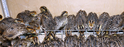 Many small quail chicks in brooder Stock Images