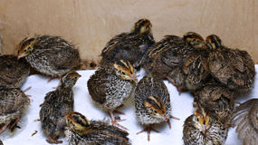 Many small quail chicks in brooder Royalty Free Stock Photo
