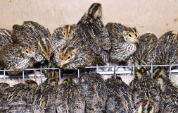 Many small quail chicks in brooder Royalty Free Stock Photos