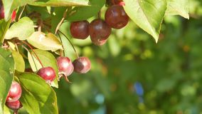 Many small red apples on an apple tree. A light breeze hardly prevents the foliage. In the background apple tree with a. Two ripe apples on the apple tree stock video footage