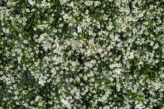 Many small white flower on green background stock images