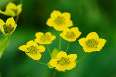 Many small wild yellow flowers Royalty Free Stock Images