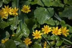 Many small yellow flowers in the forest, spring forest flowers on the background of green leaves stock photos
